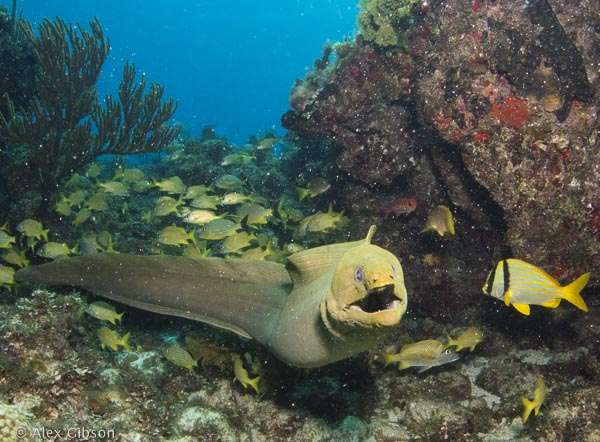 Moray eel - Cuba - Cayo Largo diving
